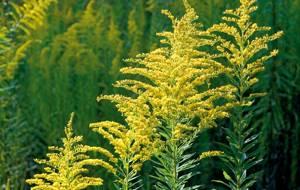 Амброзия растение когда цветет