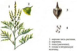 Амброзия цветет