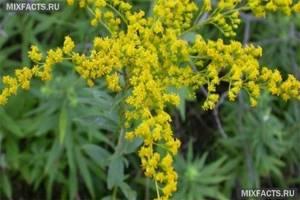 Период цветения амброзии