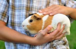 Может ли быть аллергия на морскую свинку