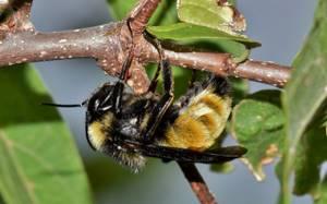 Аллергия на яд пчелы
