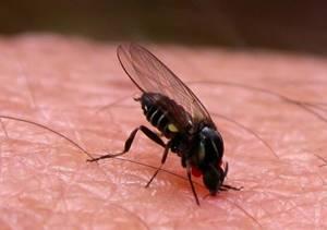 Аллергия на укус мошки