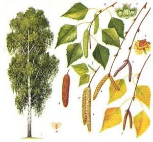 Период цветения березы