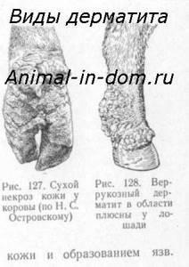 Дерматит у животных