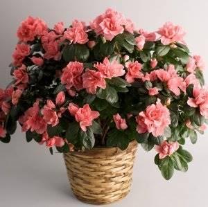 Какие домашние цветы вызывают аллергию
