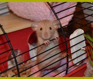 Аллергия на крыс