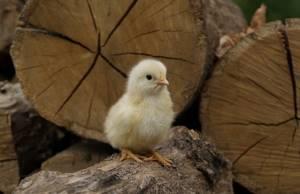 Аллергия на курицу у ребенка