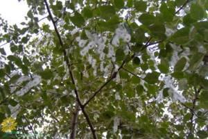 Когда цветет тополь в каком месяце