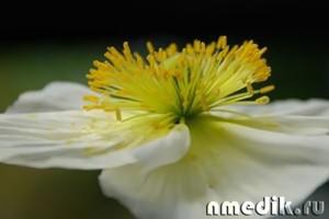 Аллергия на пыльцу растений лечение