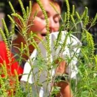 Когда цветет амброзия