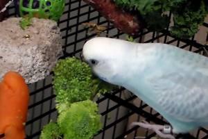 Может ли быть аллергия на попугая