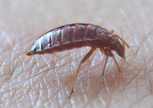 Высыпания похожие на комариные укусы